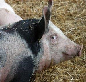 6. Babi Pemburu Truffle (Truffle-hunting Pig)