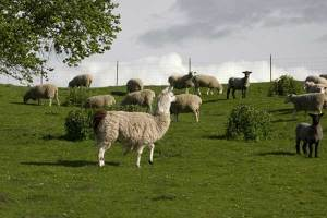 4. llama Penjaga (Guard llama)