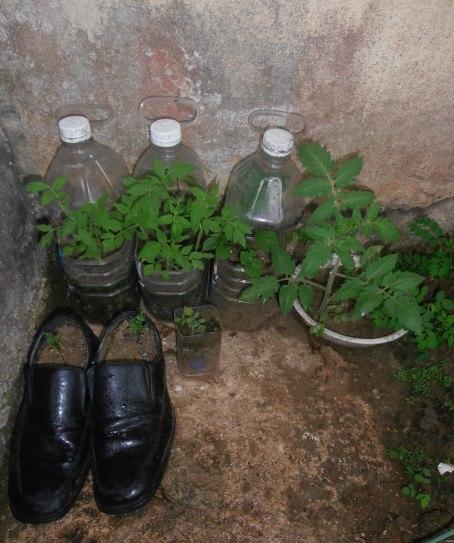 Beberapa tanaman kesayanganku (dok. cech)