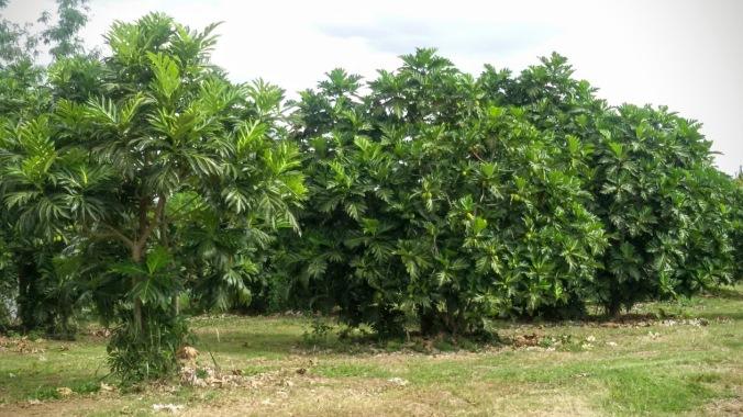 Kebun Sukun yang berbuah lebat (dok. Cech)